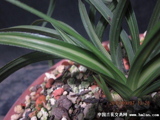 惠兰水晶大草