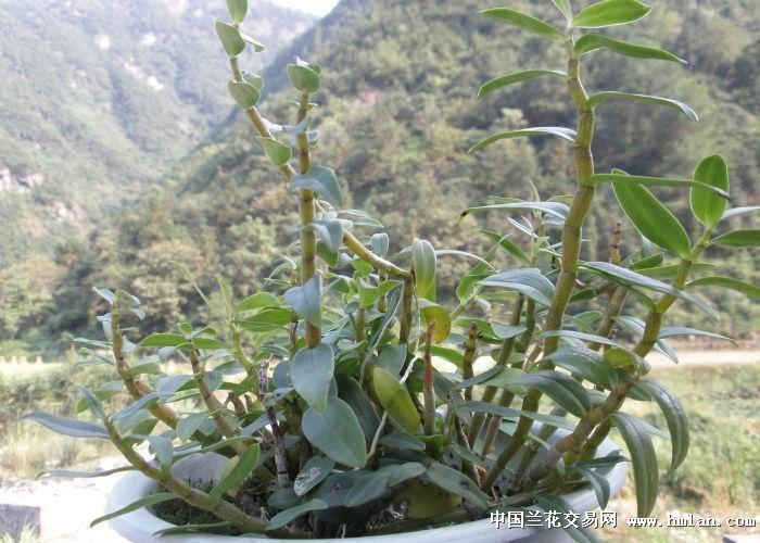 铁皮石斛 大盆 - 中国兰花交易网