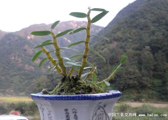 铁皮石斛 精品 - 中国兰花交易网