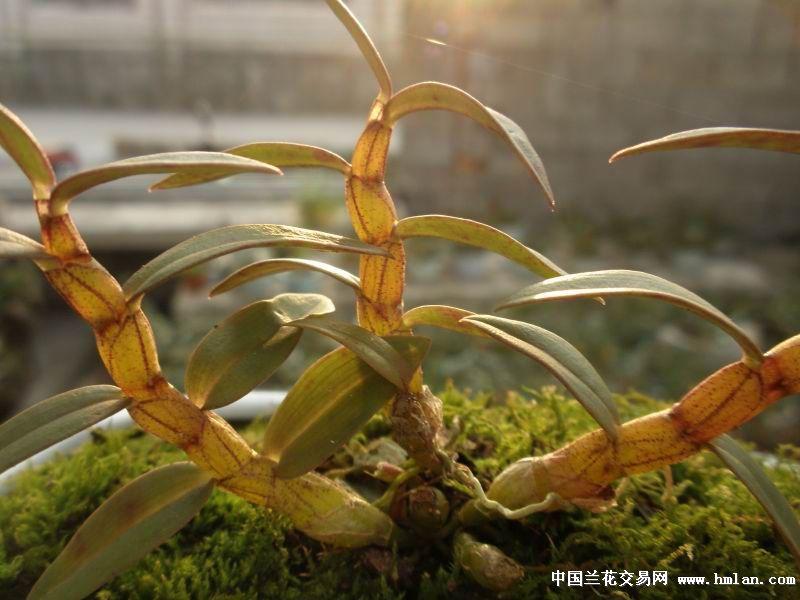 铁皮石斛 红玉 - 中国兰花交易网