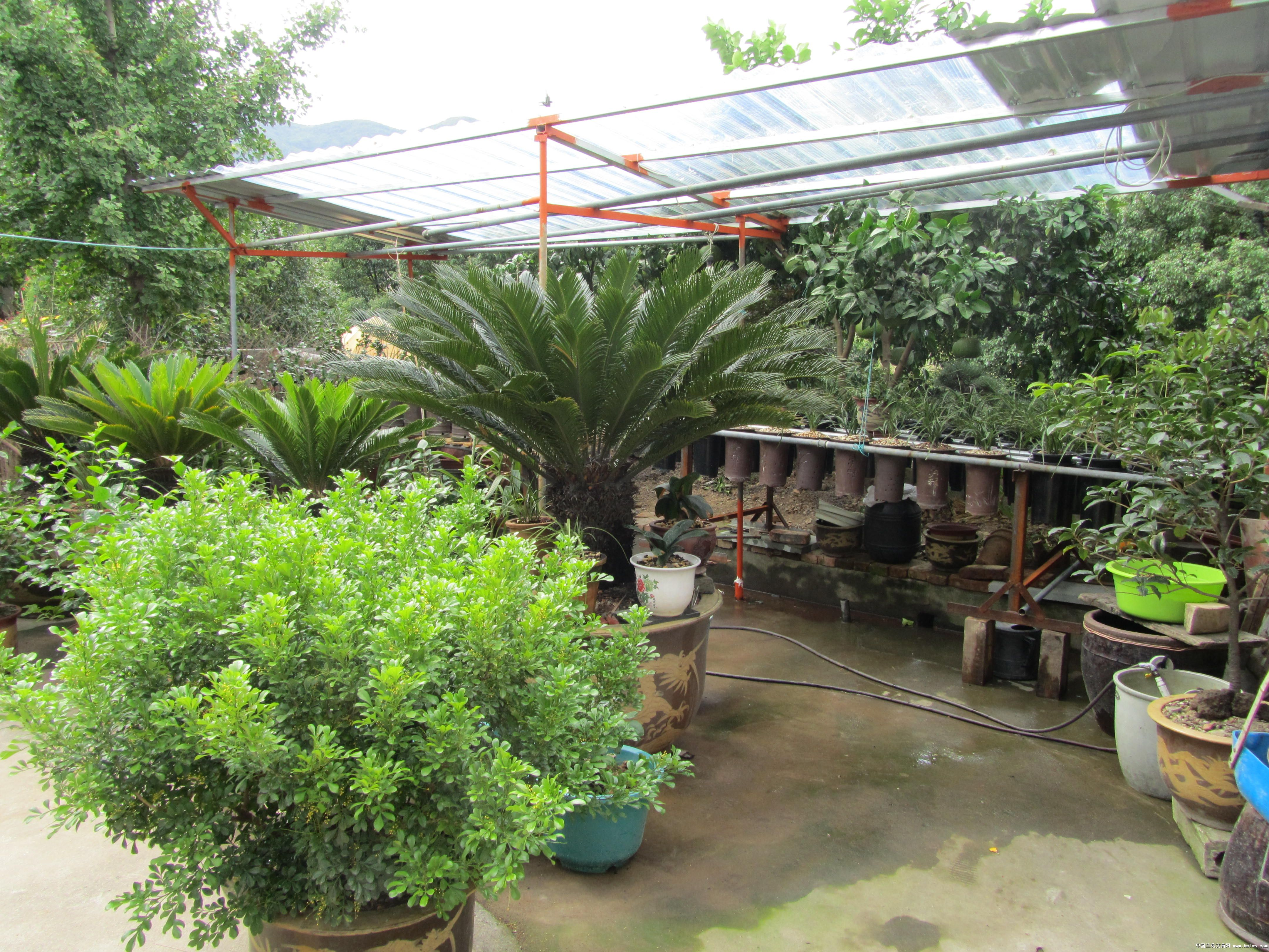 米兰铁树缸种了有年头了