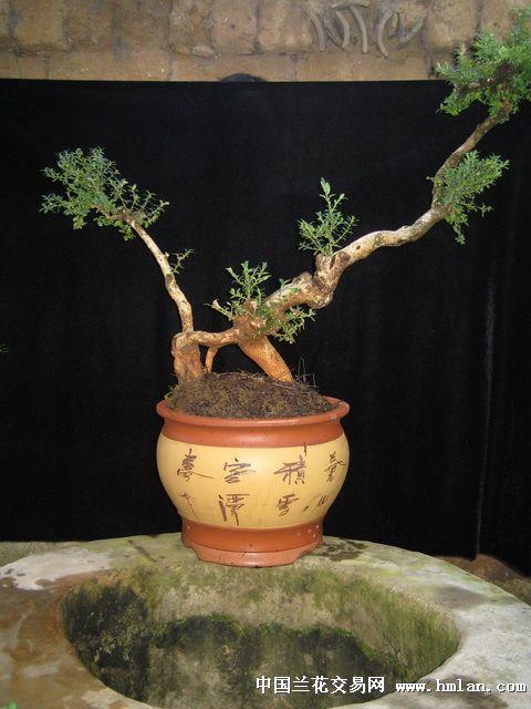 云南 小叶黄杨 盆景桩(s9号)