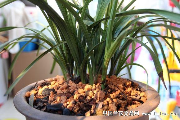 阳台种的大一品壮苗 - 中国兰花交易网