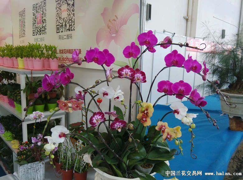 3广东 陈村 花卉文化博览会 国兰展示会