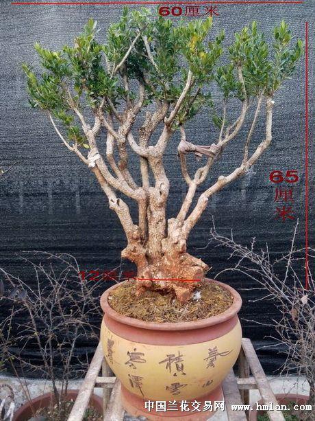 盆栽桂花树桩分类