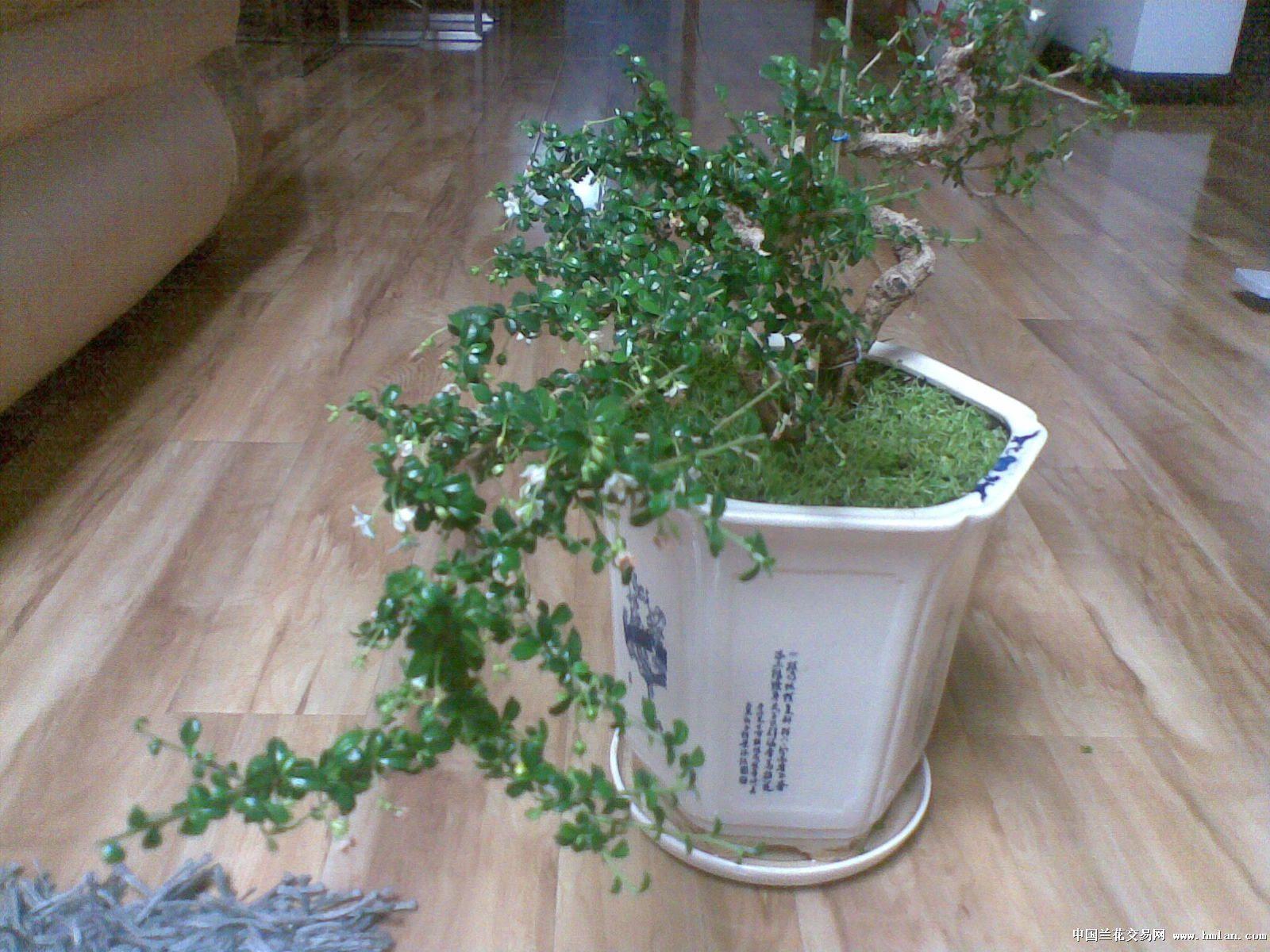 我家的小叶福建茶-盆景园艺-中国兰花交易网社