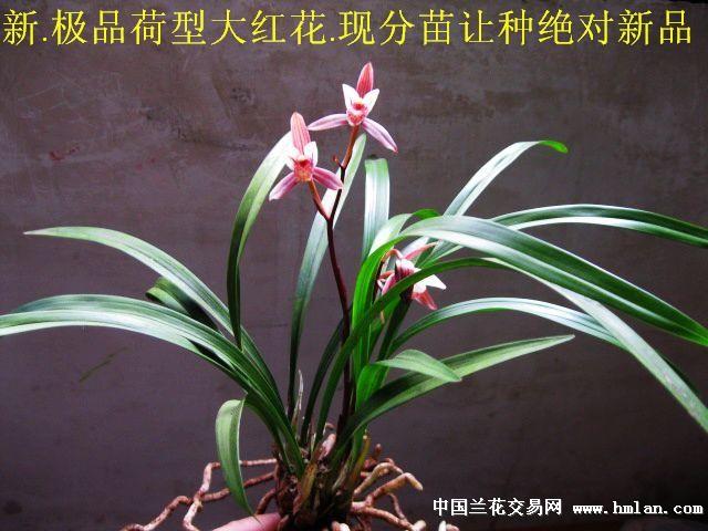 大汉虹荷,建兰_宜宾红荷:建兰绝对新品荷型瓣大红花[现分苗上拍]4