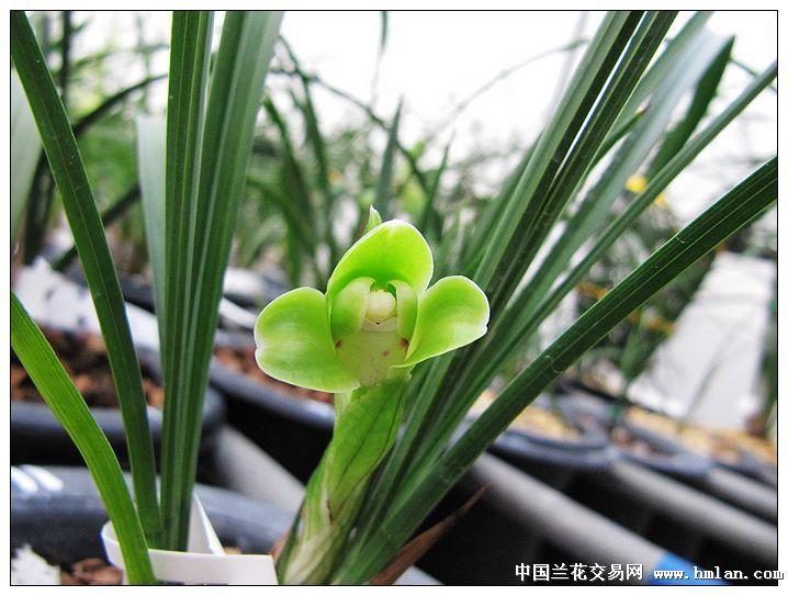 兰花分类详细图解