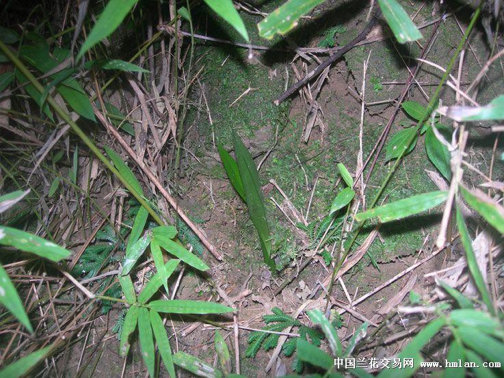 野生环境下的兰花(第一次发现福建独蒜兰)