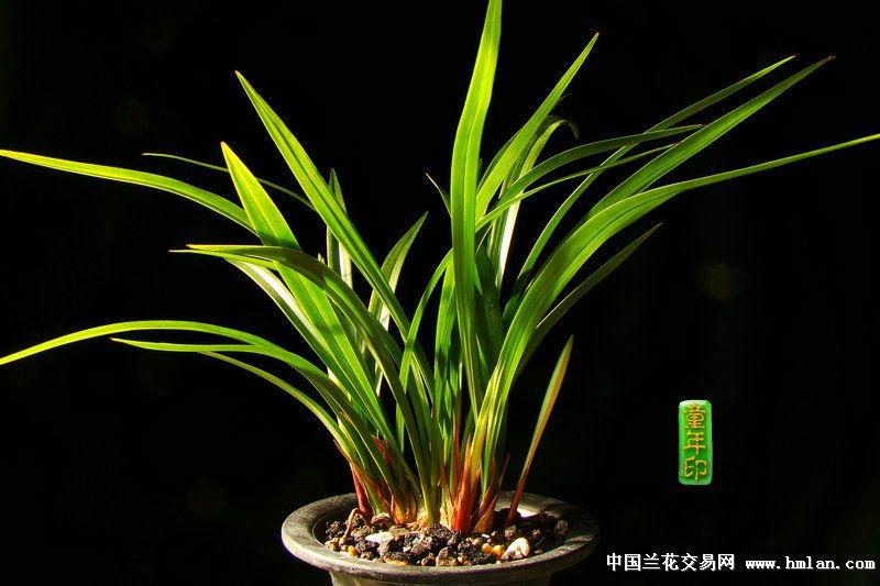 兰花专用型5斤促花好肥料@  使用方法,和质料混合使用,或者放在盆面上