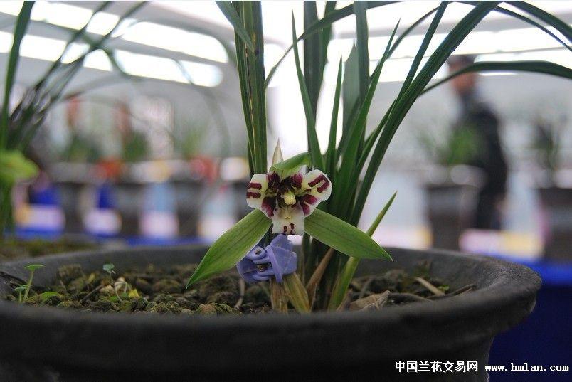 新昌潘海明兰友送展的高明蕊蝶,蕊蝶中的经典品种
