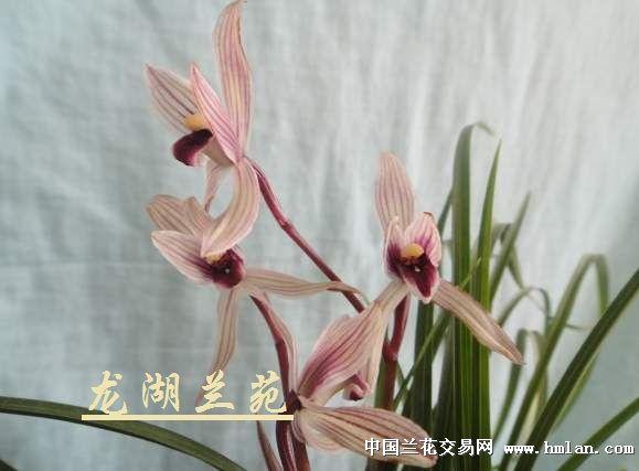 红瓣兰花矢量图