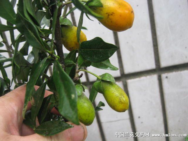 金弹子,又名瓶兰花,黑塔子,柿树科,常绿大灌木.