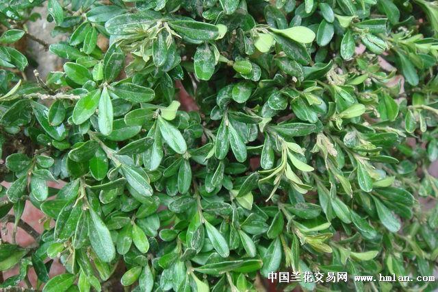 盆景树-27(小叶黄杨)