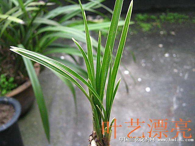 极品莲瓣兰叶艺短型草,分的龙头苗】 - 中国兰花交易网图片