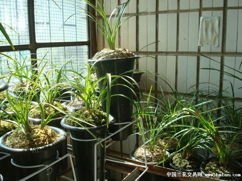 本人利用家中阳台栽培兰花,日常工作繁忙,有的品种数量多了也想和众