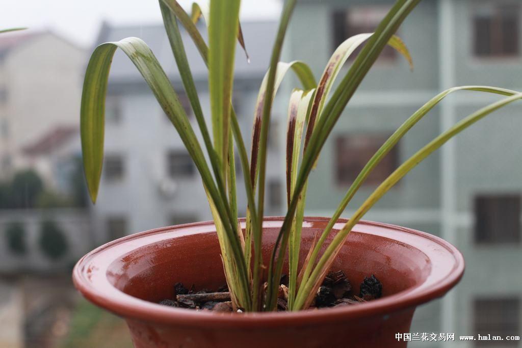 趁着今天下雨,气温8℃,不是很冷,赶紧把兰花拿到阳台上去淋雨.