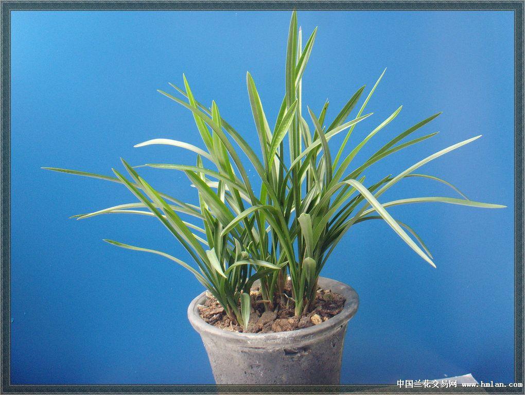 植料选用的是一香土 植金石 栗树皮 仙土混合料 &nbsp