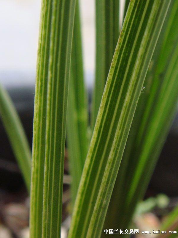 立叶蕙兰水晶草