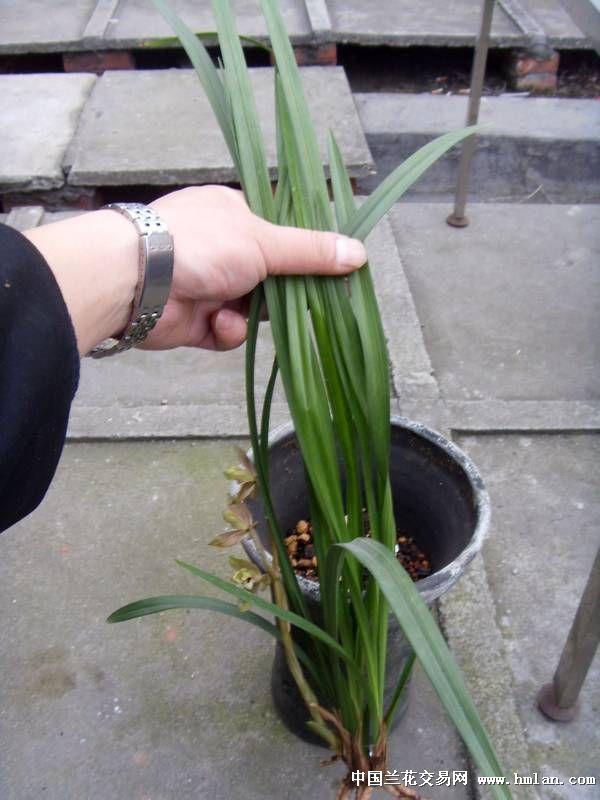 连体植物黑白素材