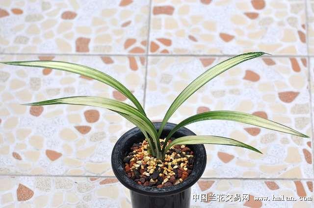 2012***赏芽***-墨兰篇-中国兰花交易网社区图片