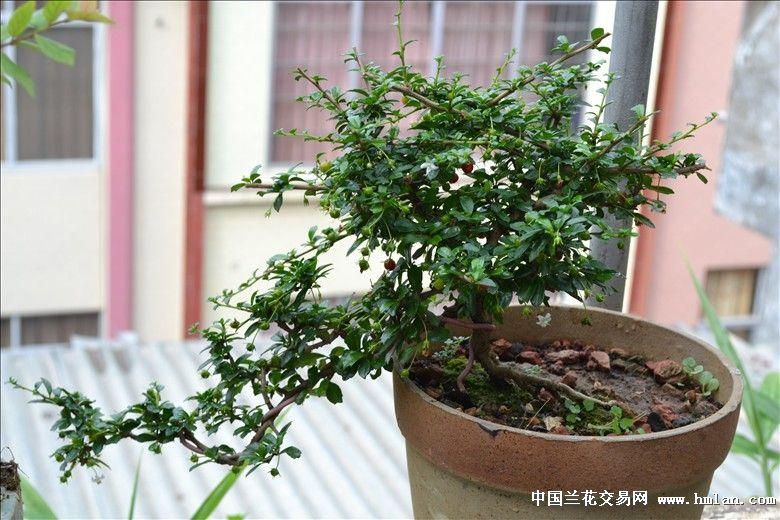 碗莲和小叶福建茶-盆景园艺-中国兰花交易网社