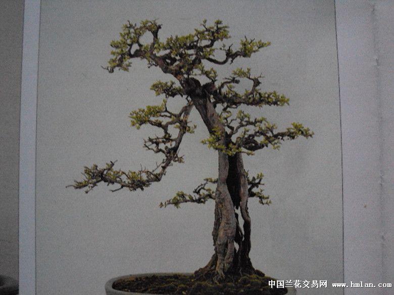求助的造型設計的盆景榆樹樁