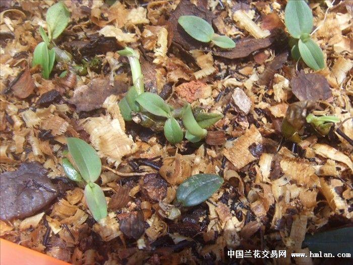 种铁皮 石斛兰图片