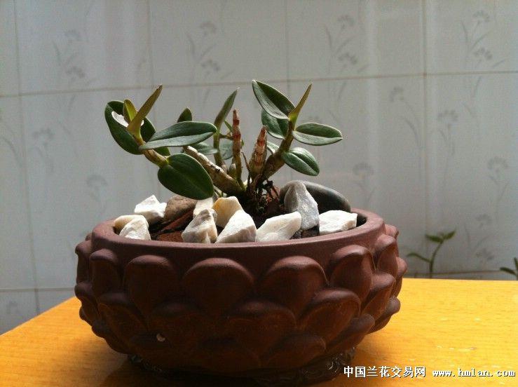 买了些兰花养养着-绳子兰-中国石斛交易网视频睡社区石斛图片