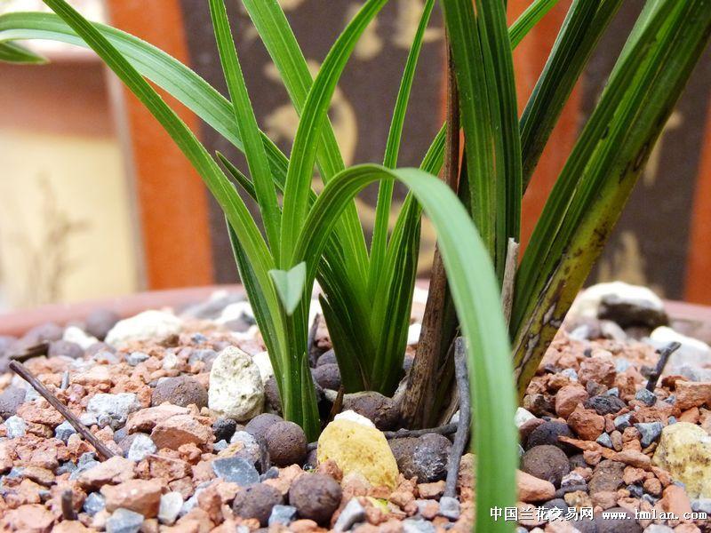 蕙兰水晶草