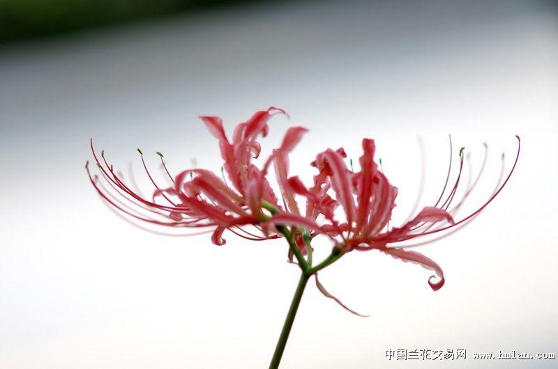 彼岸花-摄影书画-中国兰花交易网社区