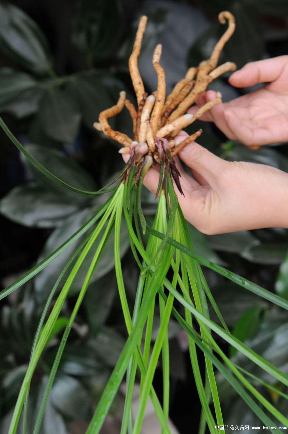 植物芽叶结构图