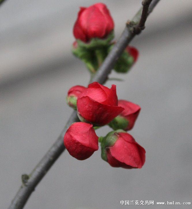 小树形玫瑰花海棠(带花苞)