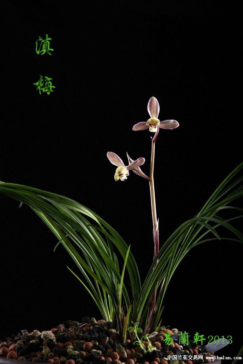 与君共赏莲瓣五朵金花之一-------滇梅风采