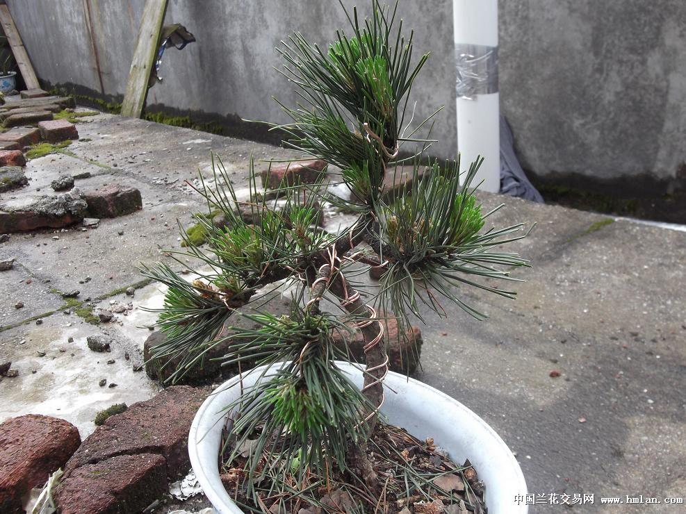 手痒 折腾 一棵小松树