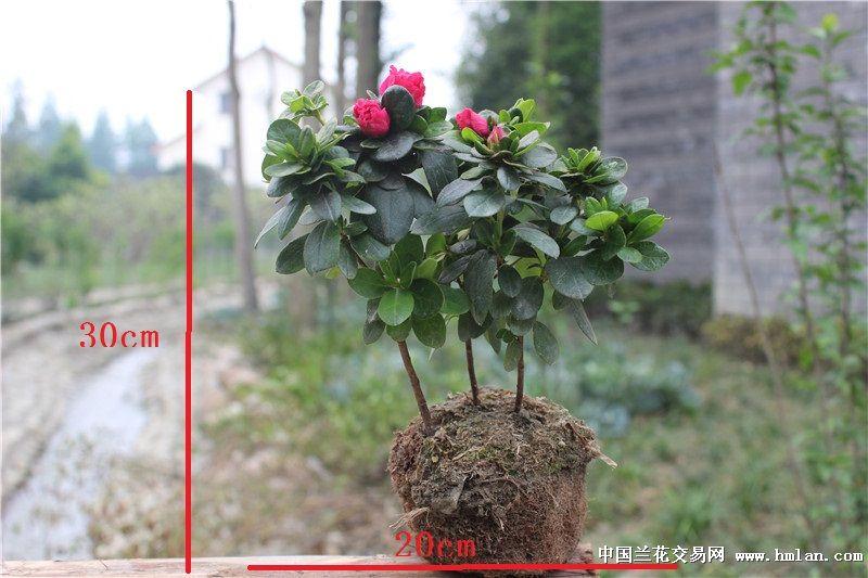 微型盆景素材西洋杜鹃大红花