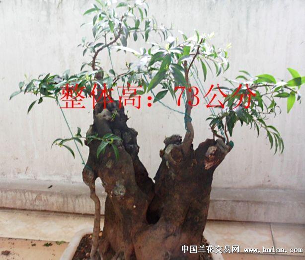 为柿树科柿属常绿灌木或小乔木