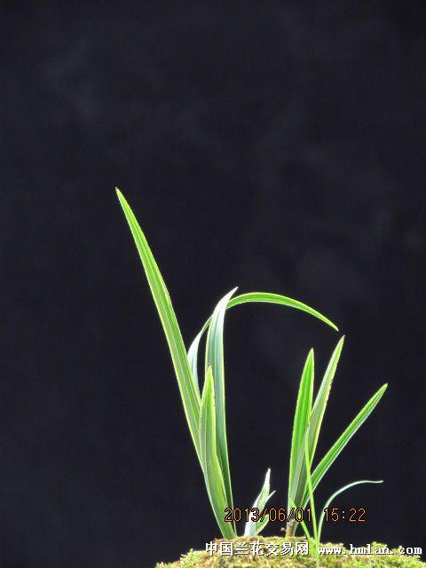 蕙兰水晶艺叶型草