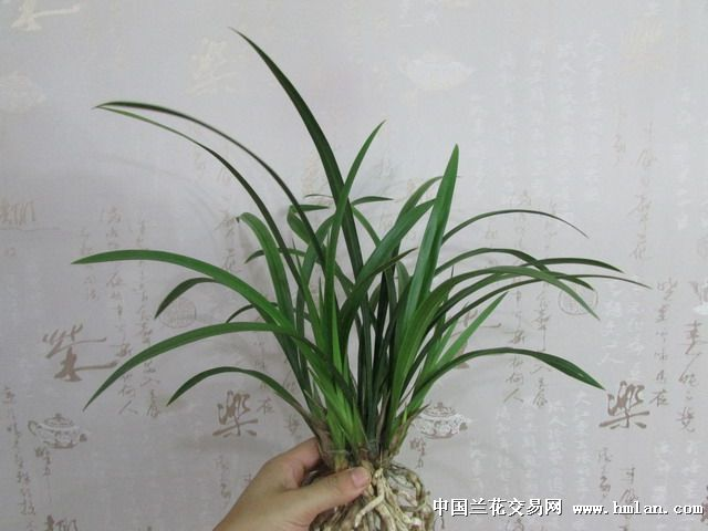 带5-6个花苞天鹅素-建兰篇-中国兰花交易网社