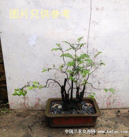 小叶紫檀木树桩盆景 盘根好树型