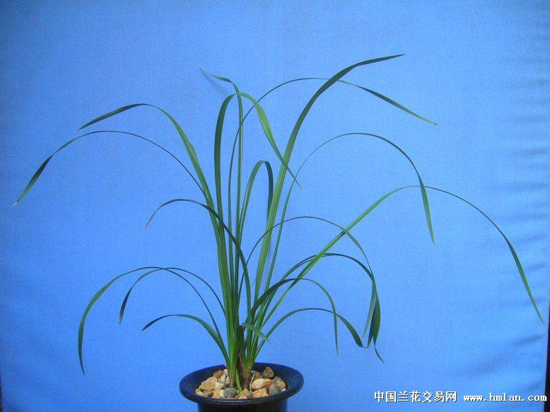 我爱蕙兰--传统老八种之首位大一品(江河队)-