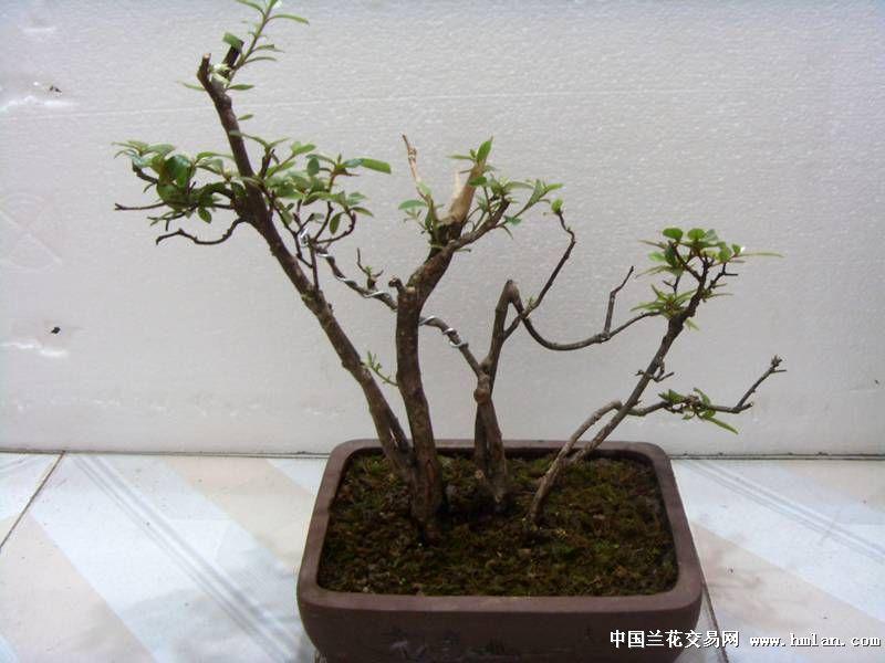多杆木瓜盆景图片