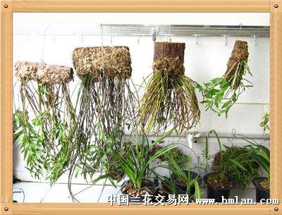 丝男养石斛-石斛兰-中国兰花交易网视频社区郄恩鹏图片