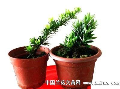 精选的海岛菊花种罗汉松苗