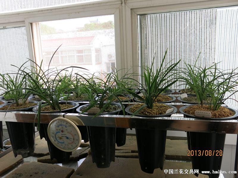 北方阳台自然养植环境-养兰环境-中国兰花交易网社区