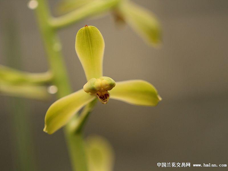 """江苏省/2010年带花引种的大舌头""""庆华""""近年均开成小舌潘绿,个人认为只是..."""