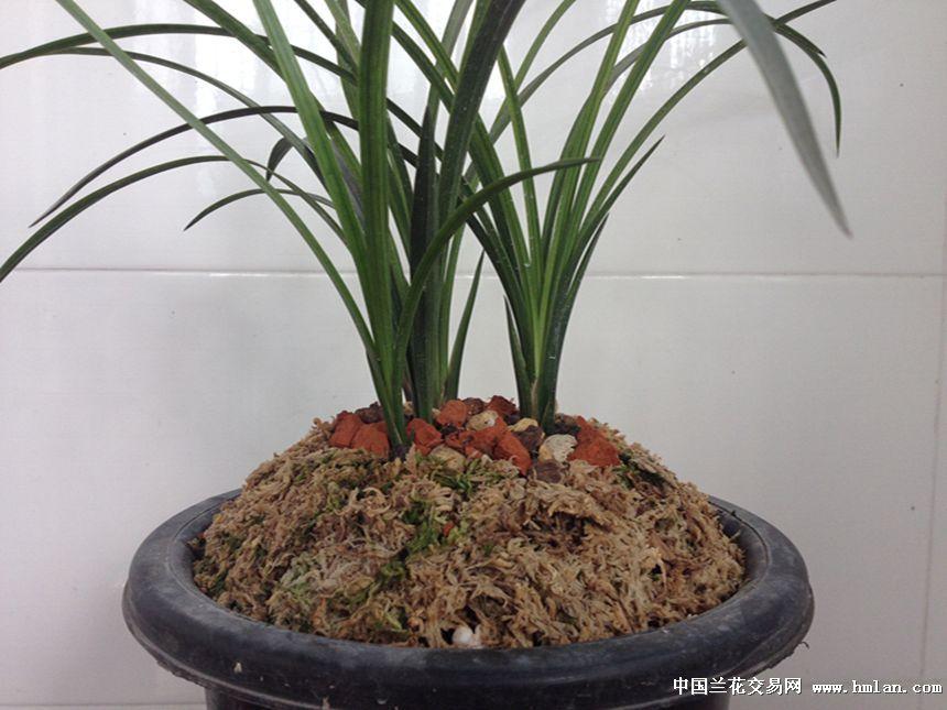 阳台养兰盆面处理-春兰篇-中国兰花交易网社区