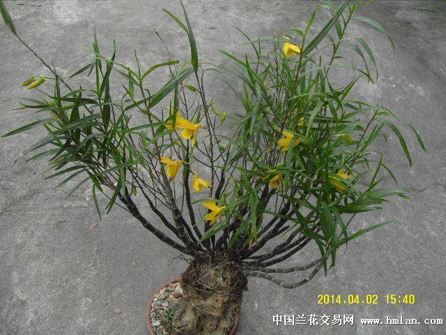 竹叶石斛 - 中国兰花交易网
