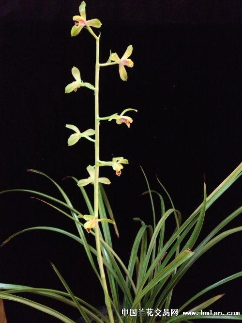 单花/潘绿的单花,大舌头的开品多起来了。照片有点红,手机也会偏色...