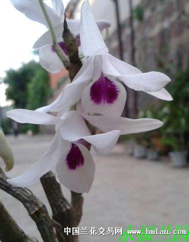 紫菀石斛,清新靓丽!